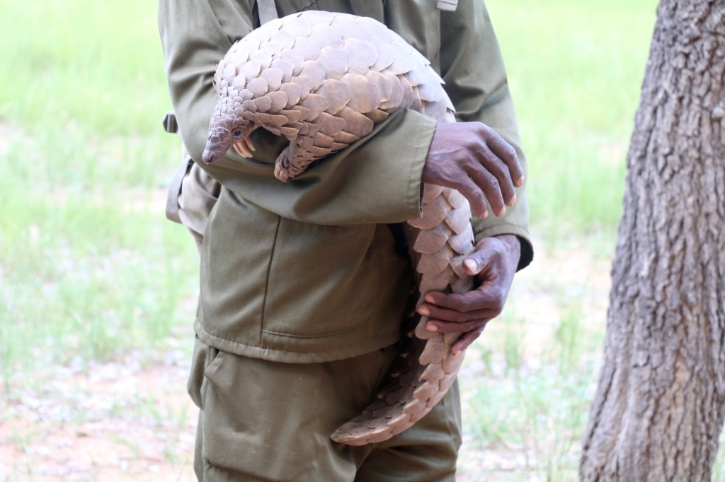 We met a pangolin. They are the most trafficked and endangered animals in Zim. This little guy lives in his keeper's backpack and they go ant hunting together.